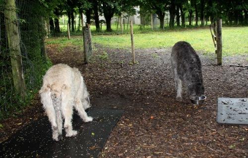 Irish_wolfhounds_dunbrody